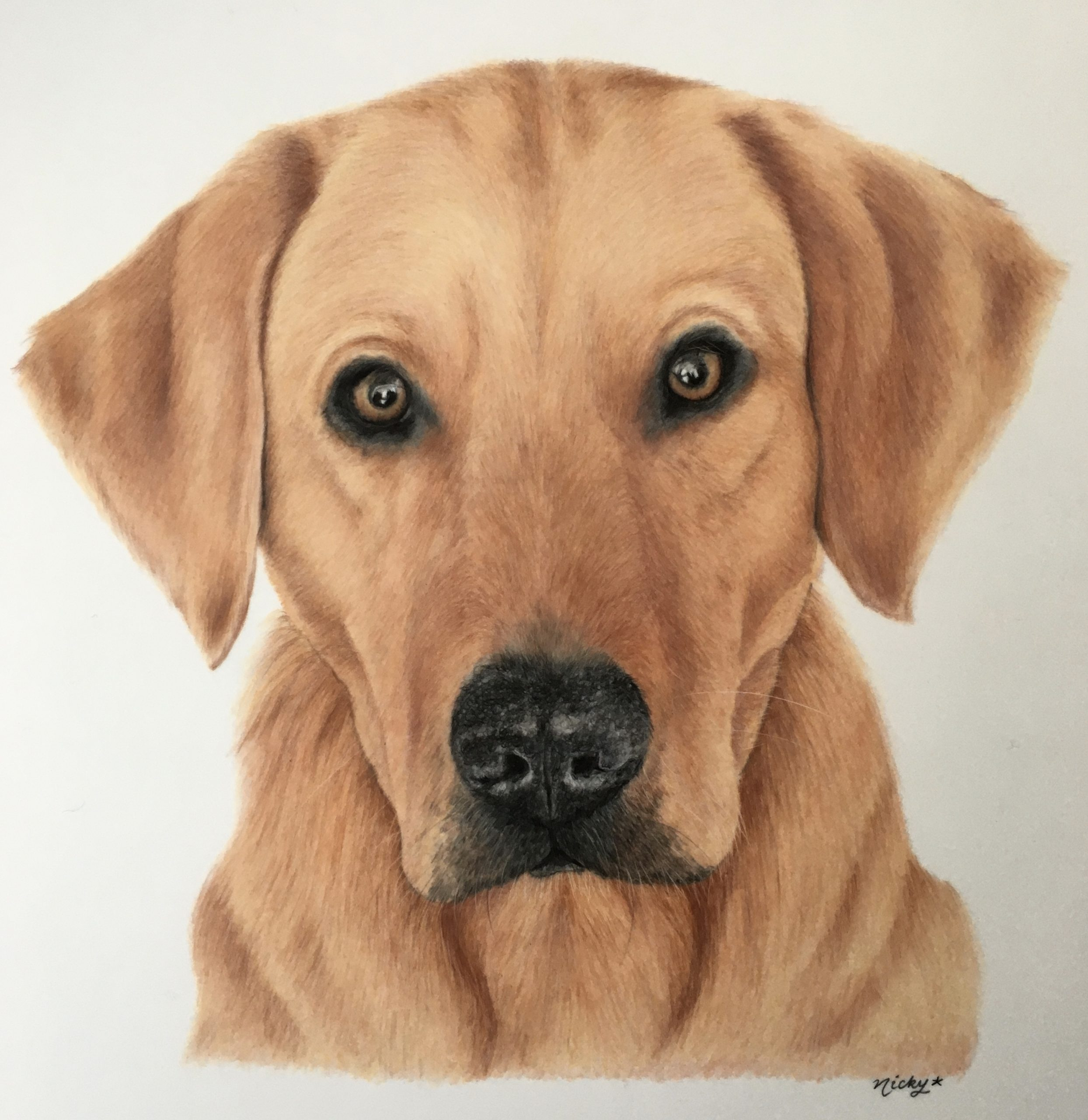 Red Labrador Drawing